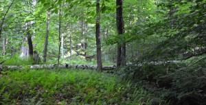 Fallen Birch, photo by Roger Vincent Jasaitis, RVJart.com, copyright 2015