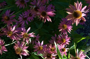 Echinacea, Photo RVJart.com